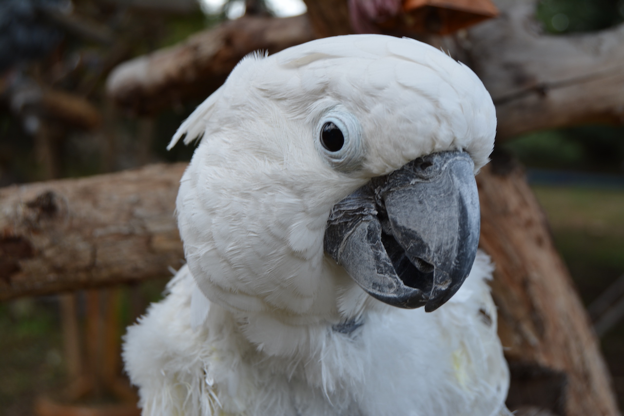 The Inconvenient Truth About Cockatoos – Pamela Clark