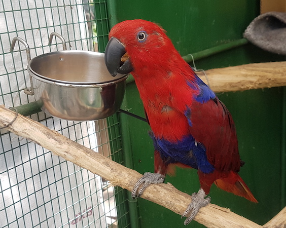 Eclectus  Parrots and their diets
